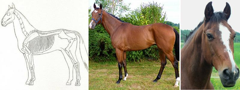 comment dessiner un cheval