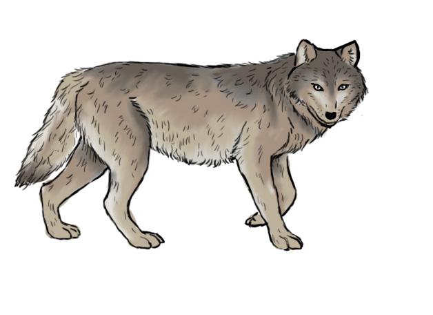 Comment dessiner un loup crayons pinceaux - Un loup dessin ...